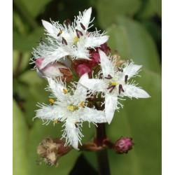 Bobrek trójlistkowy Menyanthes trifoliata