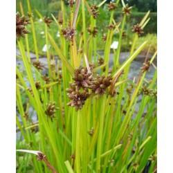 Sit szyletolistny Scirpus mucronatus