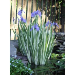 Kosaciec gładki Iris laevigata 'Variegata'