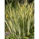 Kosacieć żółty Variegata Iris pseudacorus Variegata