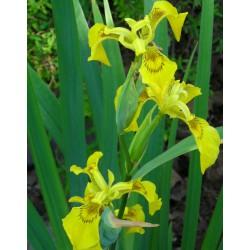 Kosaciec żółty Iris pseudacorus