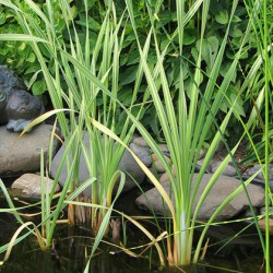 Pałka szerokolistna paskowana Typha latifolia Variegata
