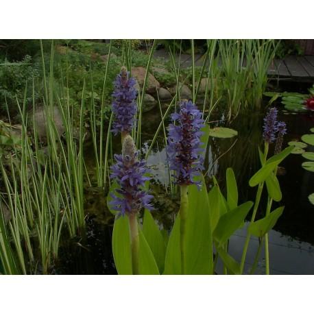 Pontederia cordata blue
