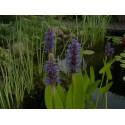 Rozpław sercowaty niebieski Pontederia cordata blue