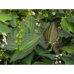 """Sagittaria australis """"Benni"""""""