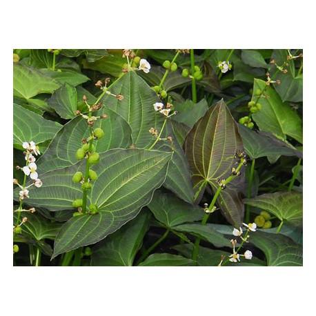 """Sagittaria australis"""" Benni"""""""