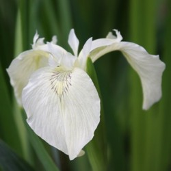 Kosaciec Iris pseudacorus 'Creme de la Creme'