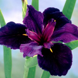 Iris louisiana 'Back Gemecock'