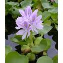 Hiacynt wodny Eichhornia crassipes