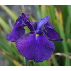 Iris ensata Loyolty