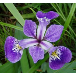 Kosaciec różnobarwny Iris versicolor