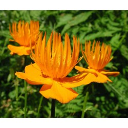 Trollius chinensis 'Goldkonigin'