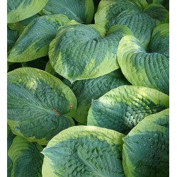 Hosta 'Frances Williams'