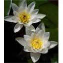 Water Lily 'Albida' Nymphaea Albida