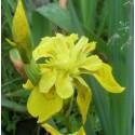 Iris louisiana 'Arabian Bayou'