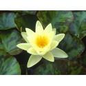 Water Lily Chromatella Nymphaea Chromatella'
