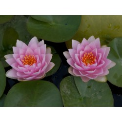 Water Lily  'Madame Wilfron Gonnere' Nymphaea
