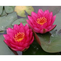 "Lilia wodna  ""James Brydon"" Nymphaea James Brydon"