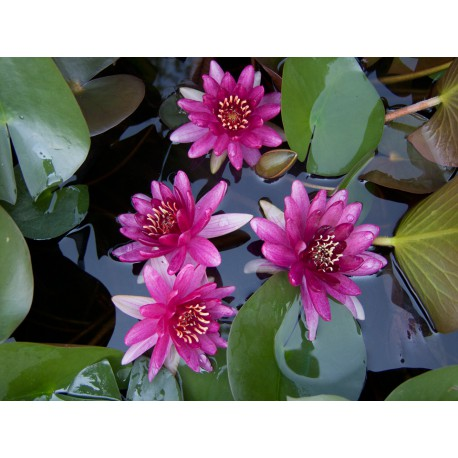 Water Lily 'Perry's Baby Red'  Nymphaea Perrys Baby Red