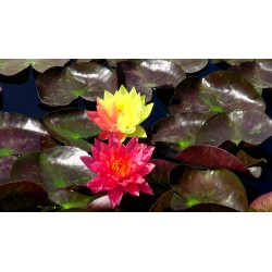 Water Lily Wanvisa, Nymphaea 'Wanvisa'