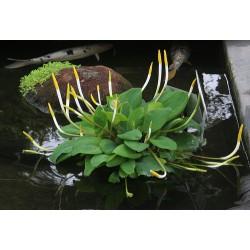 Orontium aquaticum – Golden-club