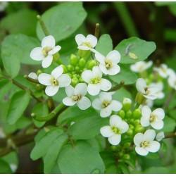 Watercress , Nasturtium officinale