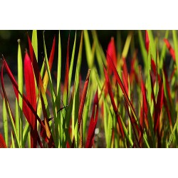 Japanese blood grass, Imperata cylindrica 'Red Baron'