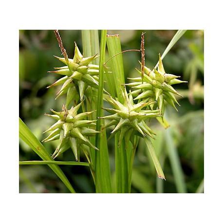 Trawa Carex grayi