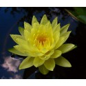 Water Lily Joey Tomocik Nymphaea Joey Tomocik