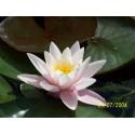 Water Lily 'Carnea Nymphaea Marliacea Carnea'