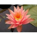 Water Lily 'Colorado' Nymphaea Colorado