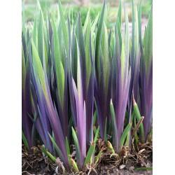 Iris Versicolor Dark Aura