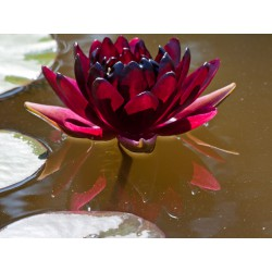 "Lilia wodna Nymphaea ""Black Princess"""