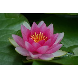 Waterlily 'Hollandia' Nymphaea Hollandia