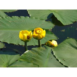 Yellow Water-lily Nuphar lutea