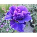 Iris Sybiryca Irys Syberyjski Concord Crush