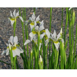 Iris sibirica Snow Queen