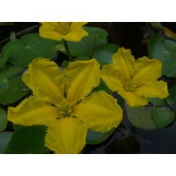 Yellow Floating Heart Nymphoides peltata