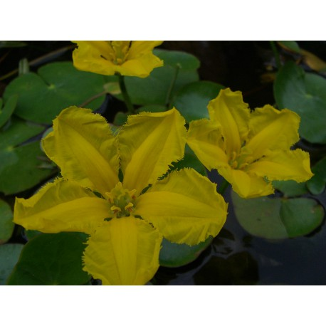 Yellow Floating Heart Nymphoides peltata