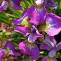 """Iris sibirica """"Sparkling Rose"""" kosaciec syberyjski"""