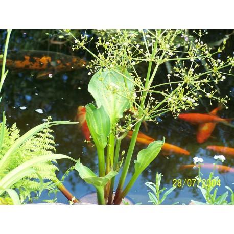 Alisma parviflora  Żabieniec drobnokwiatowy