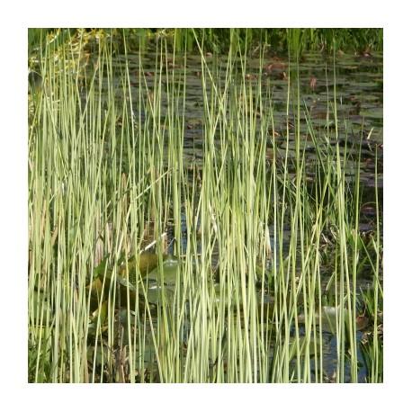 Bulrush Scirpus lacustris