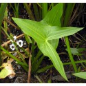 Strzałka wodna  Sagittaria sagittifolia