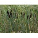 Pałka szerokolistna Typha latifolia