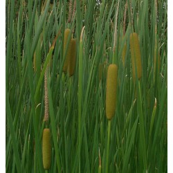 Typha angustifolia narrowleaf cattail
