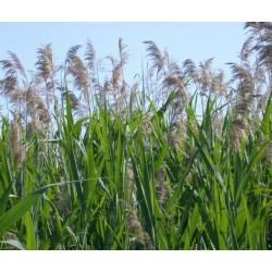 Phragmites australis the common reed
