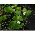 Czermień błotna Calla palustris
