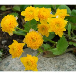 Caltha palustris Multiplex