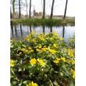 Caltha palustris  Auenwald